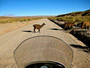 Llama crossing, Bolivia
